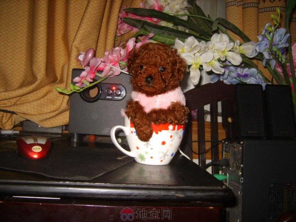 泰迪犬+可爱泰迪犬